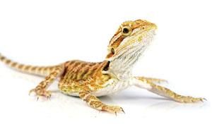 reptile dragon 300px